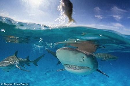 Cá mập chanh có hai vây ở trên lưng và có kích cỡ tương đồng nhau.