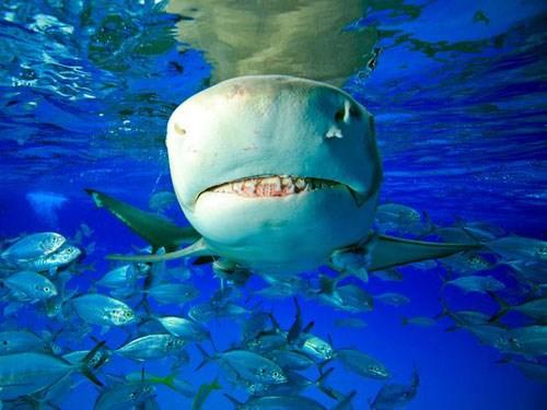 Chế độ ăn của cá mập chanh khác nhau, phụ thuộc vào nơi cư trú và nguồn thức ăn có sẵn.