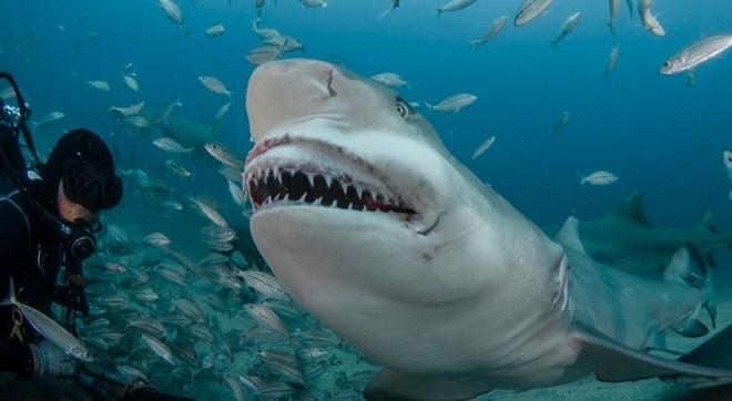 Loài cá mập chanh có thể sống sót trong tự nhiên tới 27 năm.