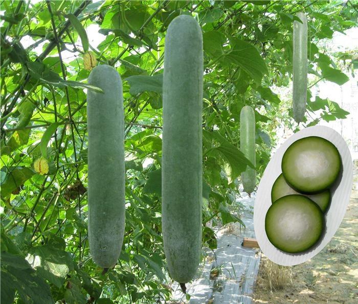 Cây bí đao có kỹ thuật trồng cây không khó