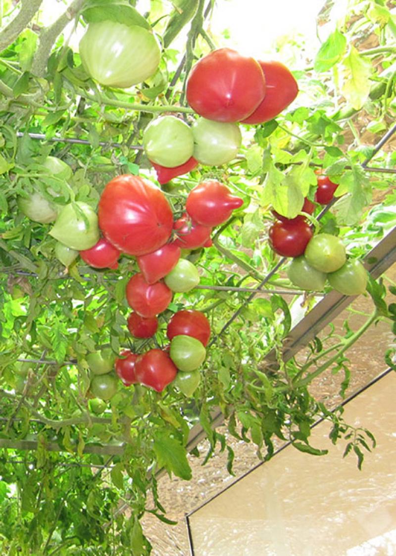 Được chăm sóc tốt nên cây trong nhà sai như được trồng ngoài tự nhiên.