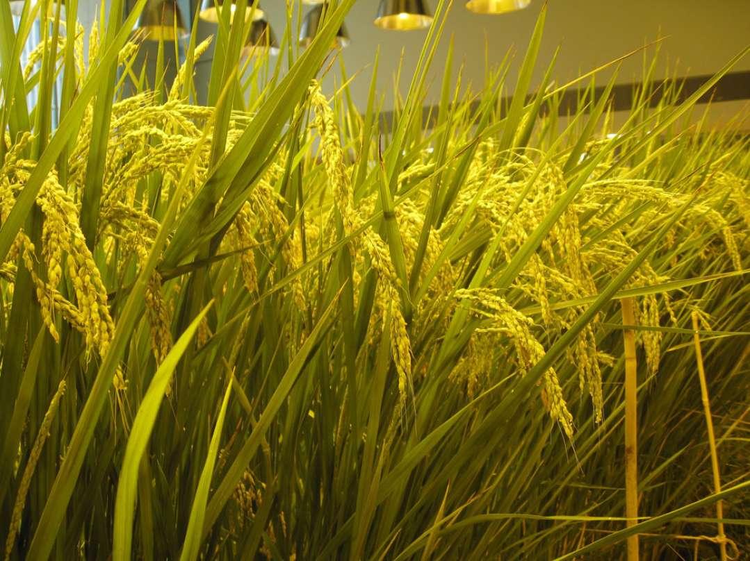 Lúa được trồng theo hình thức truyền thống trong đất ngập nước.