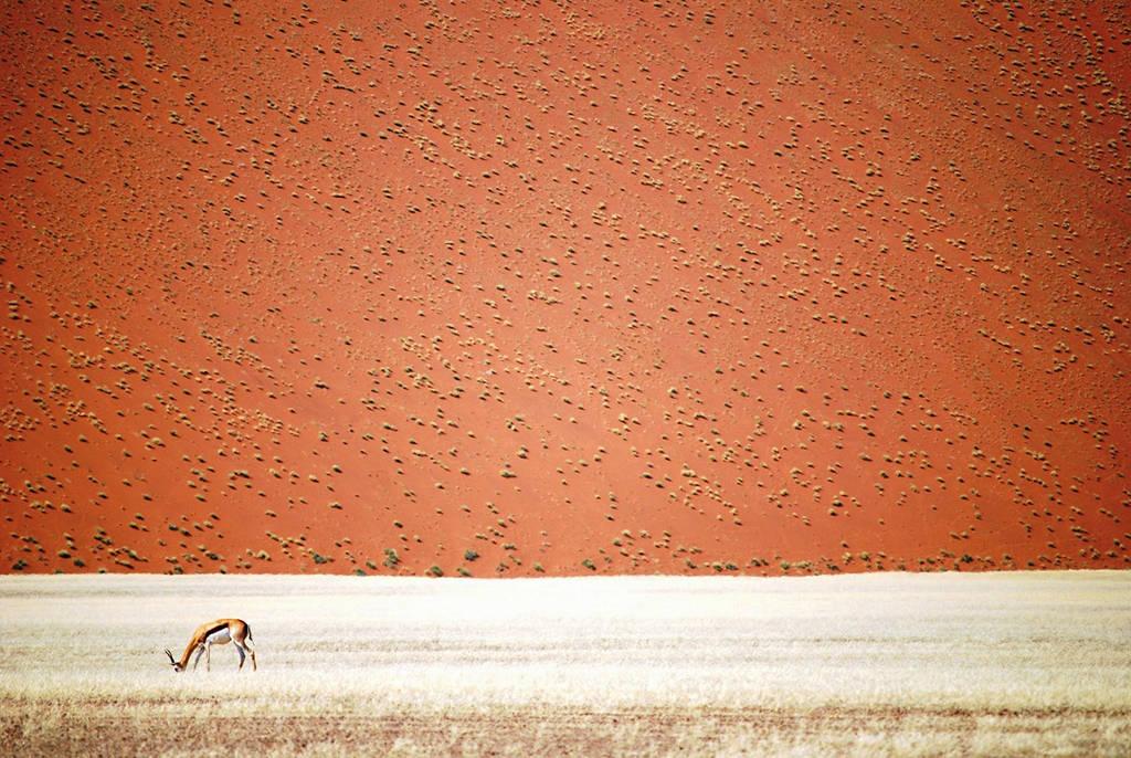 Linh dương châu Phi một mình gặm cỏ trước sa mạc mênh mông ở Swakopmund, Erong, Namibia.