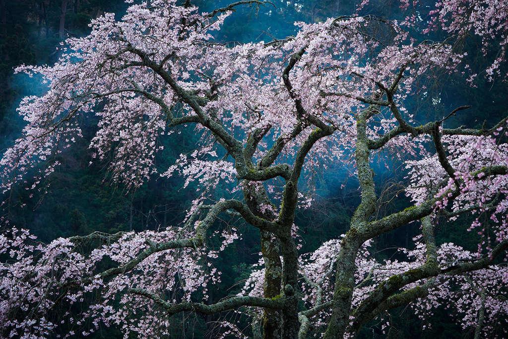 Cây hoa anh đào cổ thụ nở rộ vào mùa xuân tại thị trấn Minobu, Nhật Bản.