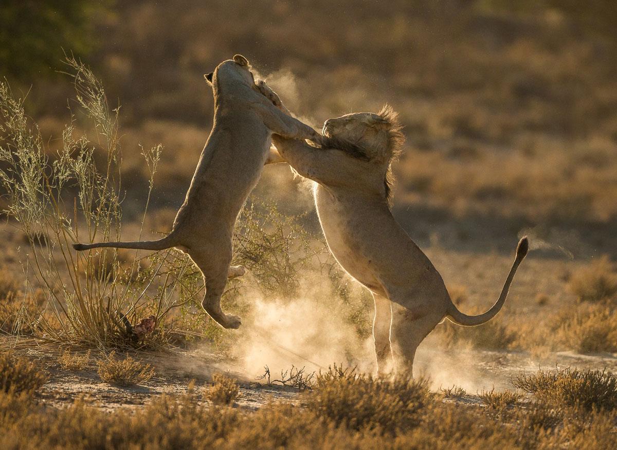 Hai con sư tử nhảy khỏi mặt đất trong khi chơi đánh nhau tại khu bảo tồn động vật hoang dã Kgalagadi, Nam Phi.