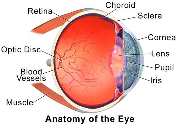 Tròng mắt là một hình cầu, lớp củng mạc phía ngoài, màu trắng đục (tròng trắng).