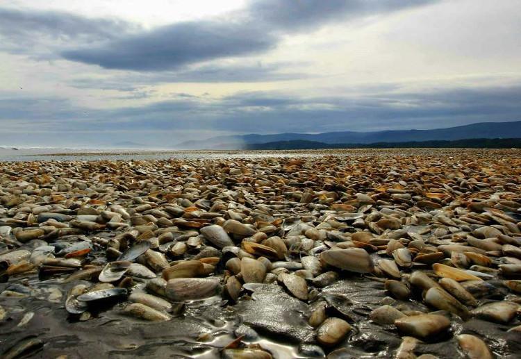 Ngao chết trên đảo Chiloe, Chile.