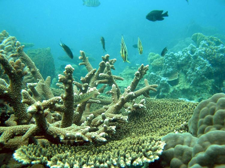 Các rạn san hô đang bị axit trong nước biển phá hoại, làm các loài cá mất chỗ trú ẩn.