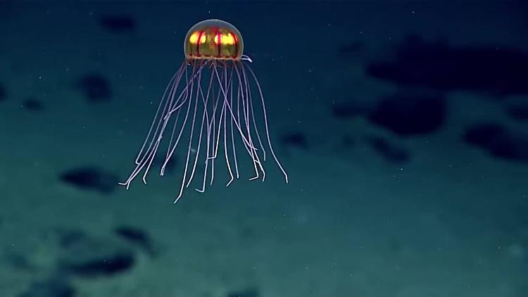 Con sứa phát sáng được các nhà khoa học phát hiện dưới rãnh Mariana.