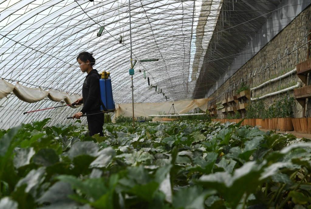 Trồng cây lương thực là ưu tiên hàng đầu của Triều Tiên