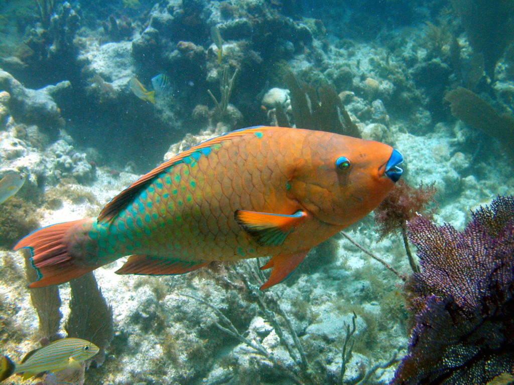 Cá Scarus Guacamaia.