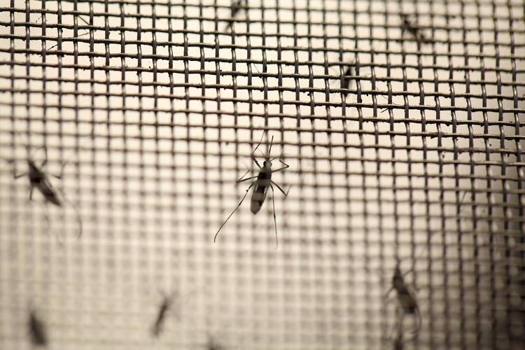 Tại Việt Nam, muỗi mang khuẩn Wolbachia đã được thả tại đảo Trí Nguyên, Khánh Hòa.