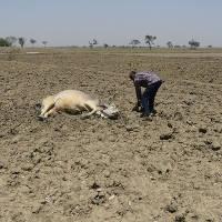 Nắng nóng kỷ lục ở Ấn Độ, bò ngất lịm trên ruộng