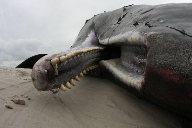 Cá nhà táng bị trôi dạt trên bờ biển.