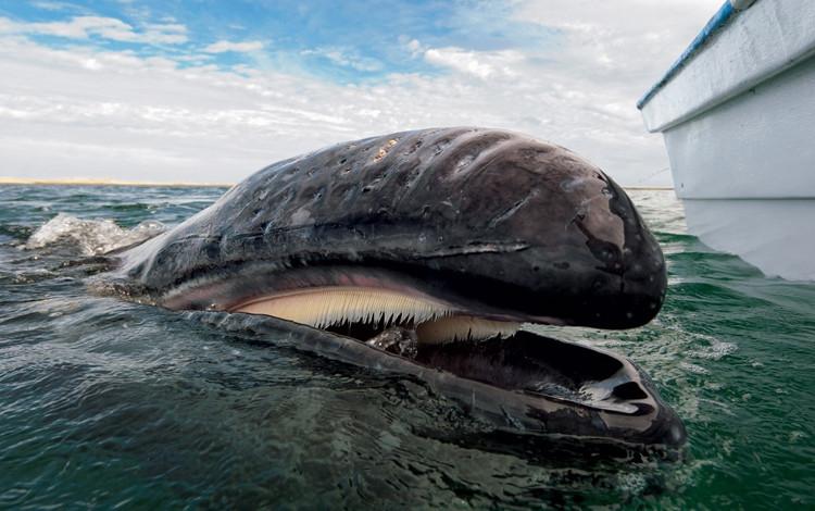 Những tấm lược trong vòm họng của cá voi.