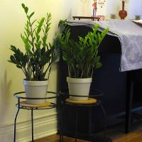Cây kim tiền: Loài cây có khả năng gây nguy hiểm cho trẻ mà nhiều nhà vẫn thường trồng