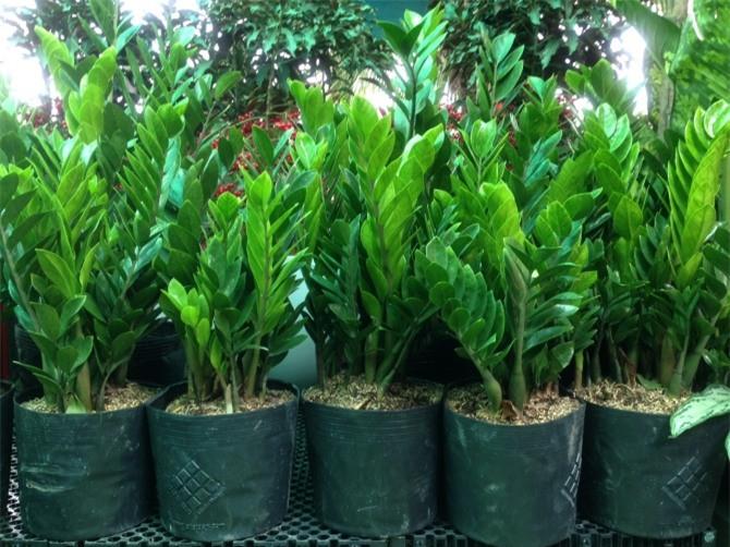 Kim tiền là một loài cây thuộc vùng nhiệt đới lâu năm, có nguồn gốc từ miền Đông châu Phi.