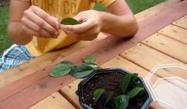 Cuống và lá của cây kim tiền có chứa nhiều tinh thể canxi oxalat.