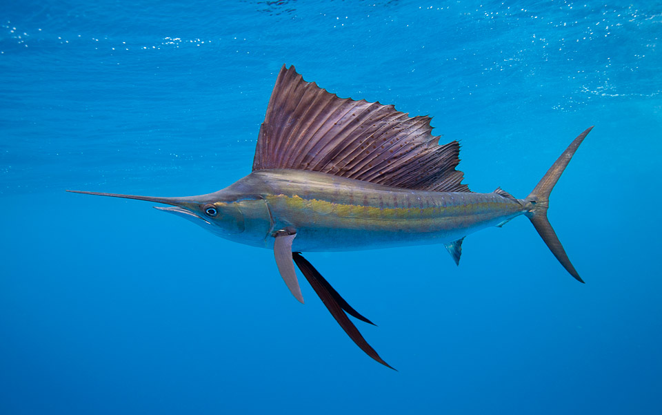 Cá cờ chính là loài cá bơi nhanh nhất thế giới hiện nay với vận tốc tối đa lên tới 112 km/h