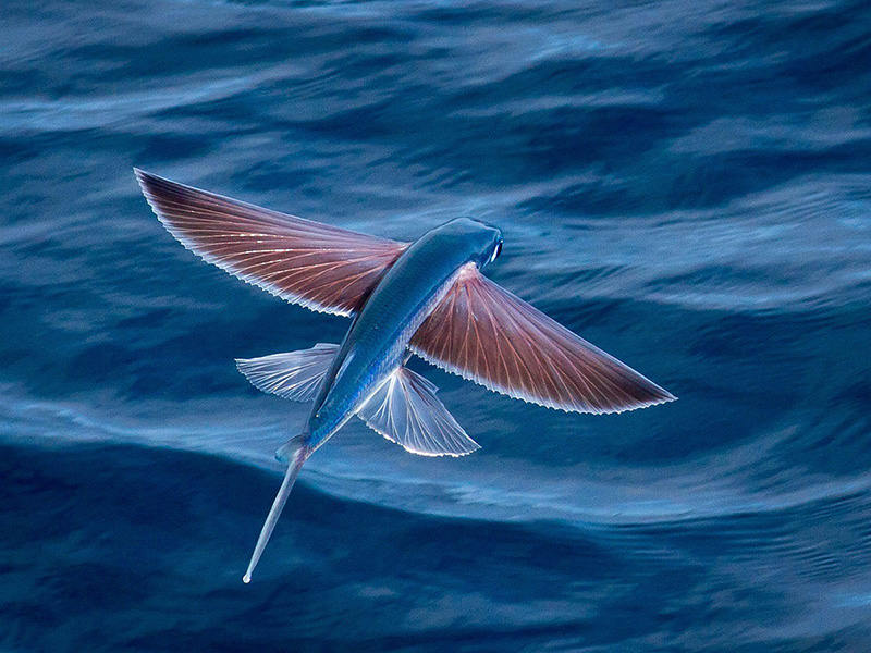 Cá chuồn ( Four-winged flying fish) 56km/h