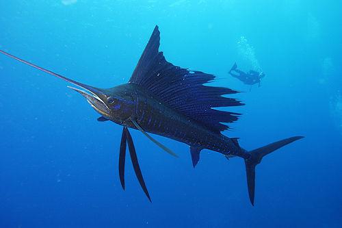 Cá buồm có thể bơi với tốc độ lên đến 109 km/h