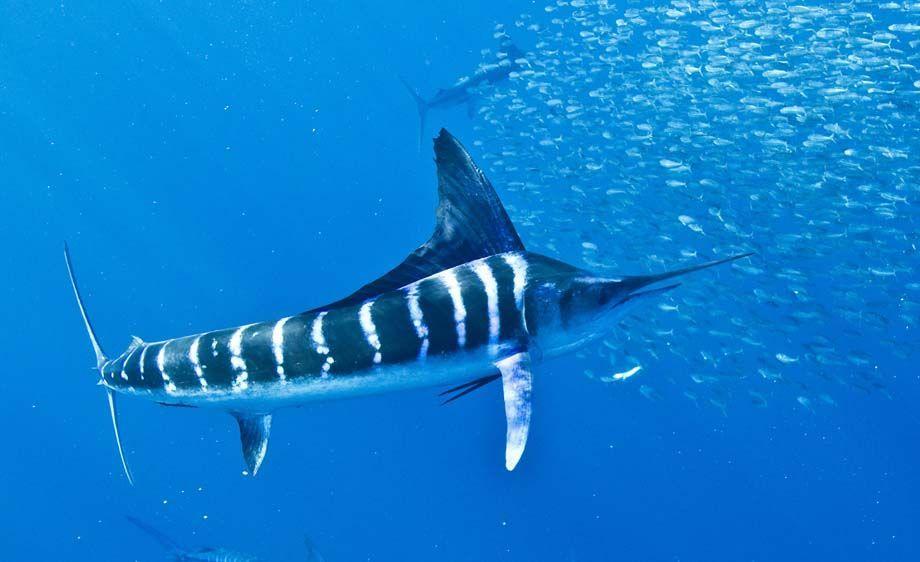Cá Marlin sọc có thể bơi với vận tốc 80 km/h
