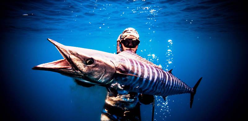 Cá thu Wahoo với vận tốc 78 km/h.