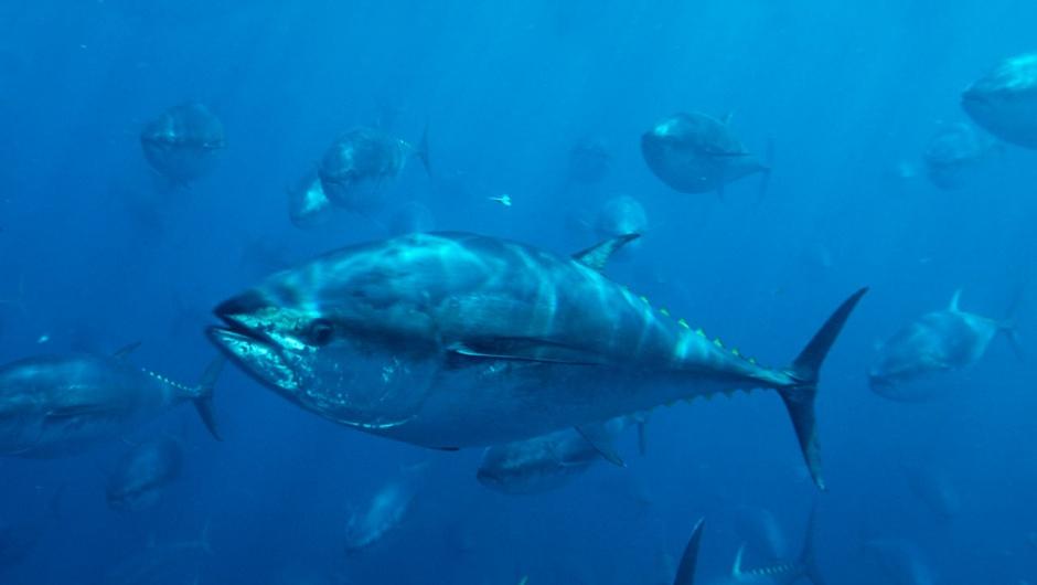 Cá ngừ vây xanh có thể nặng lên đến 450 kg và có thể bơi với tốc độ lên đến 76 km/h