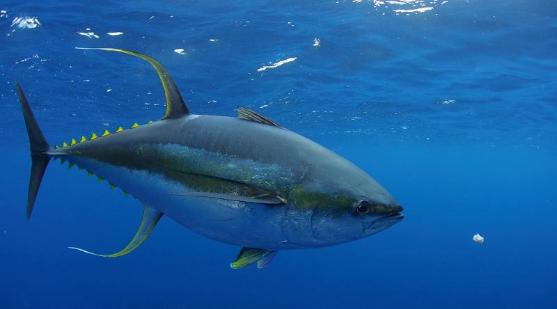 Cá ngừ vây vàng có thể bơi với tốc độ lên đến 74 km/h