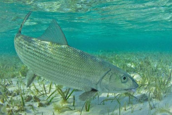 Cá mòi đường (Bonefish) 64 km/h