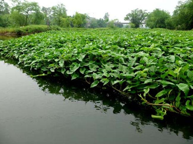 Rau muống trồng tại sông có nguy cơ nhiễm độc chì