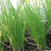 Các cách trồng hành lá siêu đơn giản tại nhà