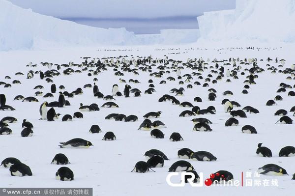 Chim cánh cụt tự sát tập thể