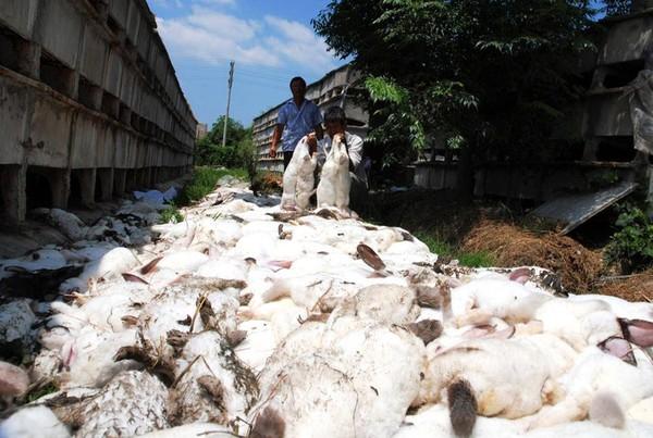 Đàn thỏ tự sát tập thể