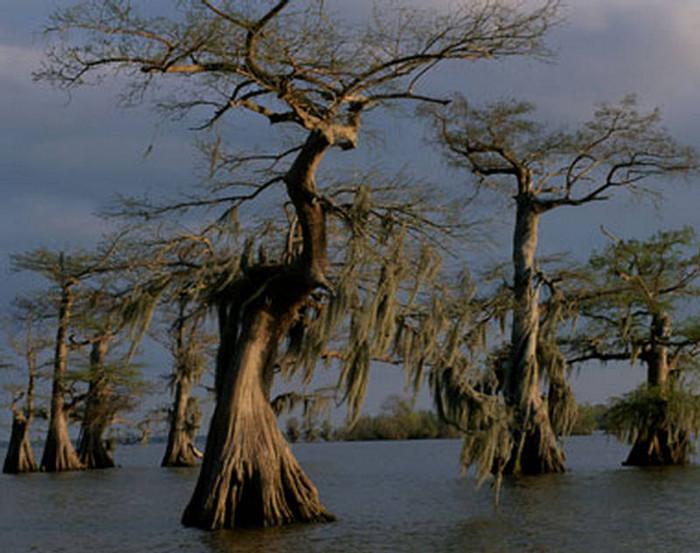 Những thân cây có hình dáng ma quái là đặc trưng khiến đầm lầy Manchac ở Louisiana được mệnh danh một trong số những nơi rùng rợn nhất thế giới.