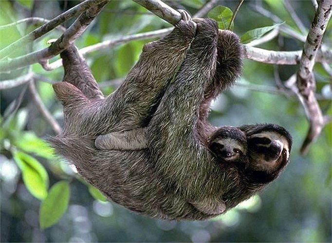 Vừa ra đời, lười non đã biết bám vào lông lẹ và sống trên bụng mẹ.