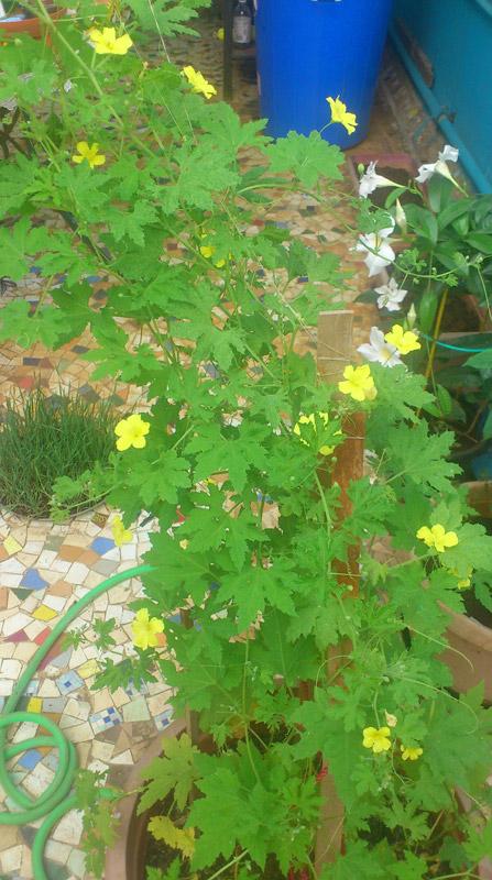 Hoa thường bắt đầu xuất hiện trên giàn leo trong vòng một vài tuần lễ sau khi trồng cây
