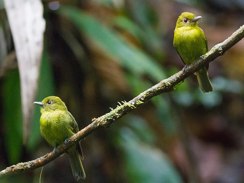 Những con chim sapayoa tại Vườn quốc gia Panama.