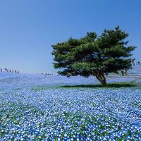 """4 triệu bông hoa """"tình yêu"""" nở rộ ở công viên Nhật Bản"""