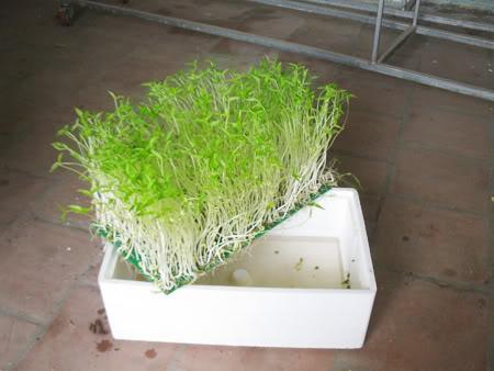 Kỹ thuật trồng cây, rau mầm thủy canh khá đơn giản