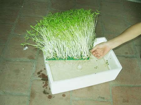 Cần chú ý tới nước và ánh sáng trong kỹ thuật trồng cây, rau mầm thủy canh