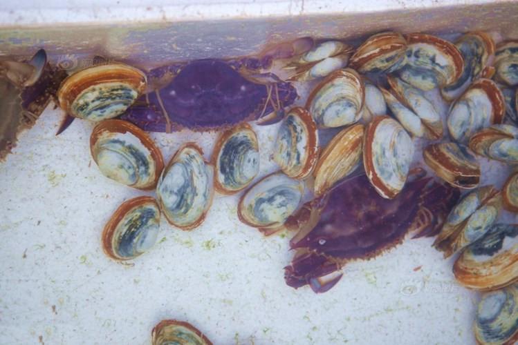 Con cua màu tím được ngư dân Thanh Đảo đánh bắt được.