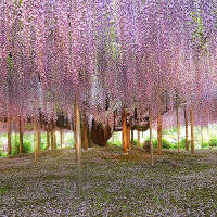 Khám phá lễ hội hoa tử đằng tại Nhật Bản