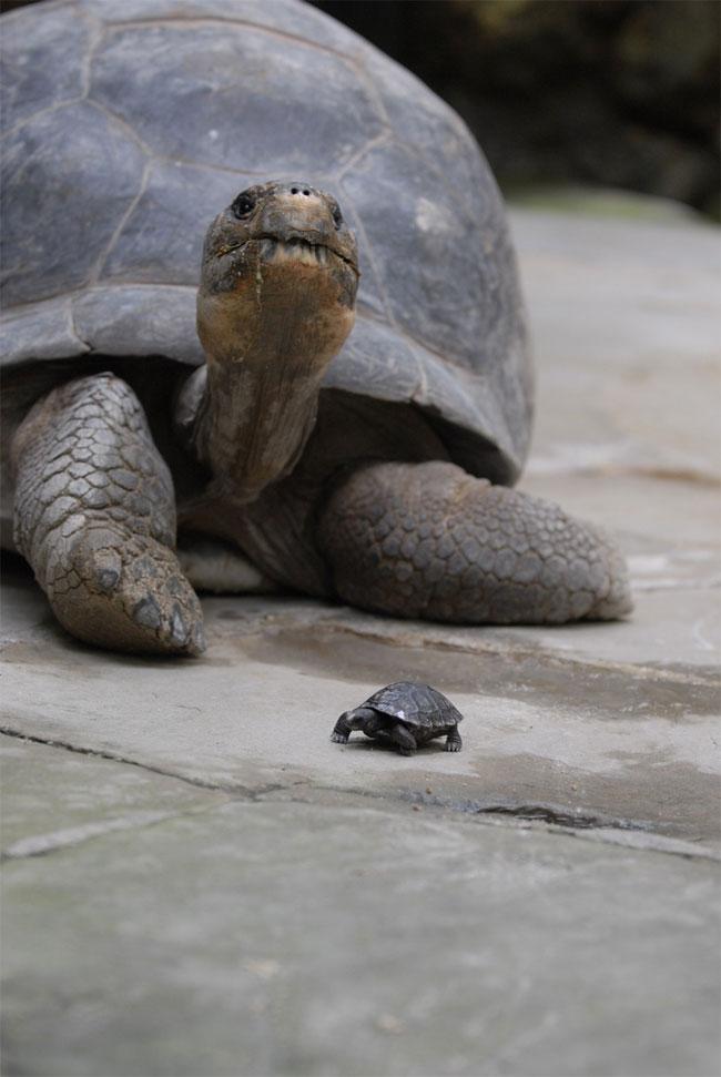 Rùa mẹ Nigrita bên một con non.
