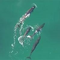 Video: Bầy cá voi phối hợp truy sát cá mập