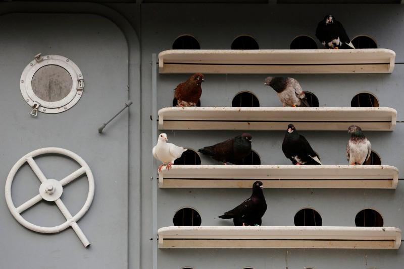 Những chú chim bồ câu đang chờ đợi đến lượt mình biểu diễn.