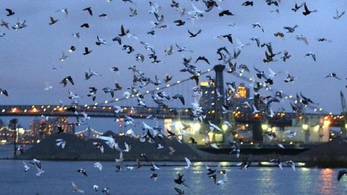 Sau khi Riley thổi còi ra hiệu, đàn chim bồ câu chân gắn đèn led đồng loạt bay vút lên trời từ một chiếc tổ lớn đặt trên tàu Baylander, con tàu sân bay từng phục vụ trong thời kỳ chiến tranh Việt Nam.