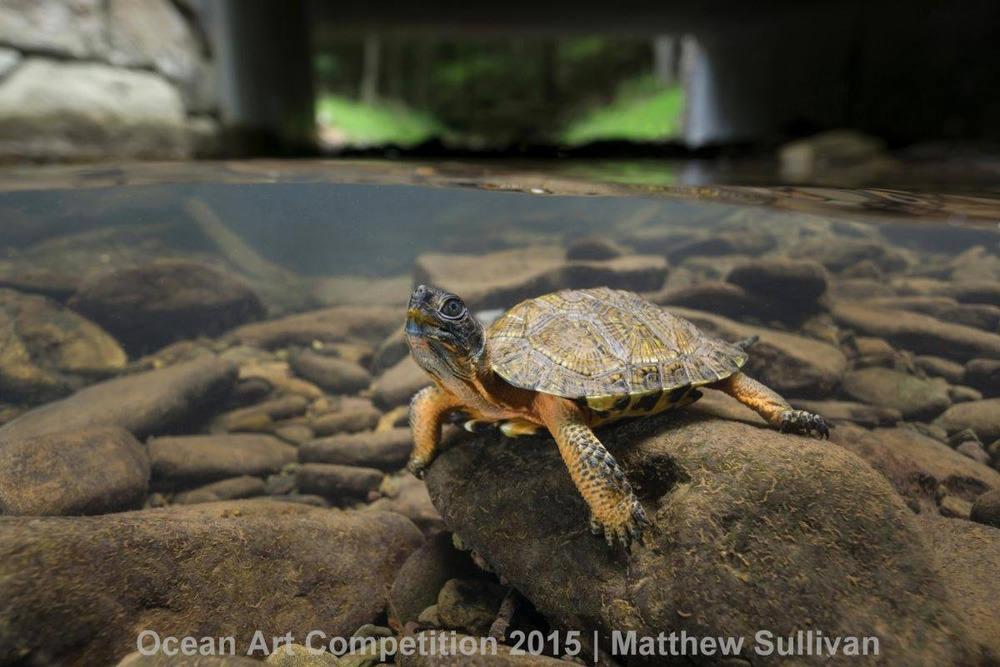 Chú rùa gỗ con đang tạo dáng trên một tảng đá ở một nhánh sông thuộc bang Pennsylvania.