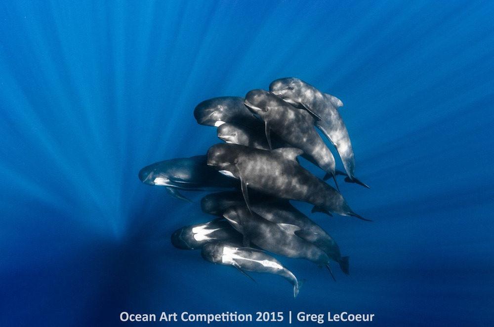 Một tốp cá voi Pilot bơi cùng nhiếp ảnh gia Greg LeCoeur ở Nice, Pháp.