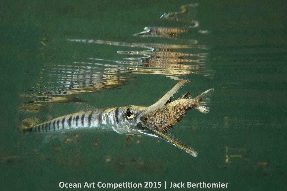 Con cá Tylosorus crocodulis đang đớp lấy một con cá nhỏ khi đang săn mồi ở Vịnh Ouemo thuộc Noumea, New Caledonia.